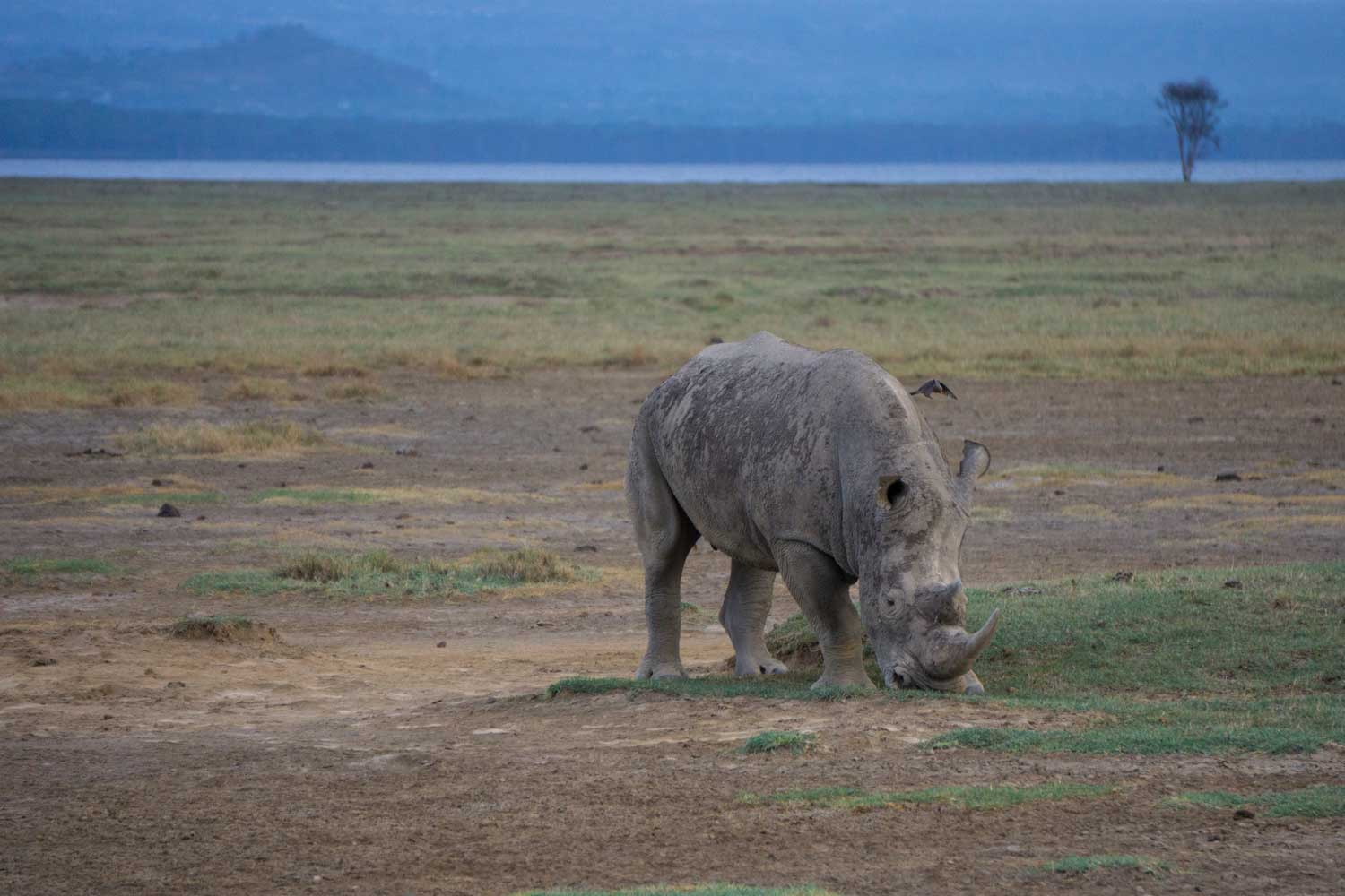 Safari in Kenya - Rhino