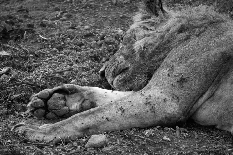 Safari in Kenya - Lion