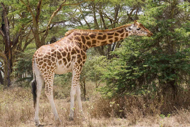 Safari in Kenya - Giraffe