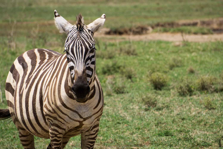 Safari in Kenya - Zebra