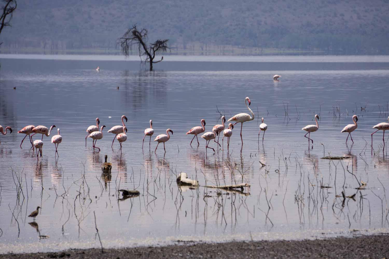 Safari in Kenya - Flamingo