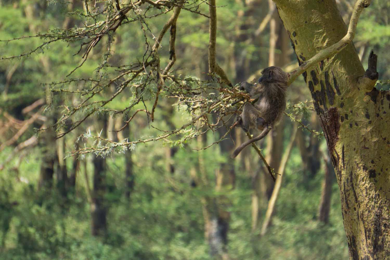 Safari in Kenya - Baboon